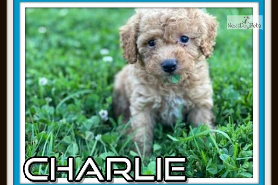 You Ll Love This Male Cockapoo Contact Us Today To Learn More About This Sweet Puppy In 2020 Poodle Mix Puppies Cockapoo Cocker Spaniel Poodle Mix