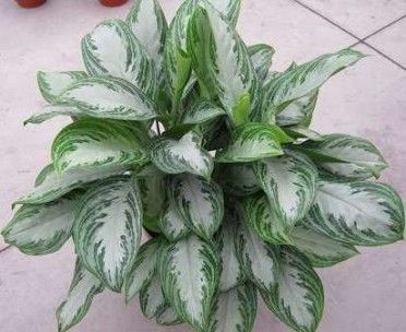 Aglaonema Chinese Evergreen Silver Bay Houseplants Plant Library Garden Center Plants Cool Plants Aloe Plant