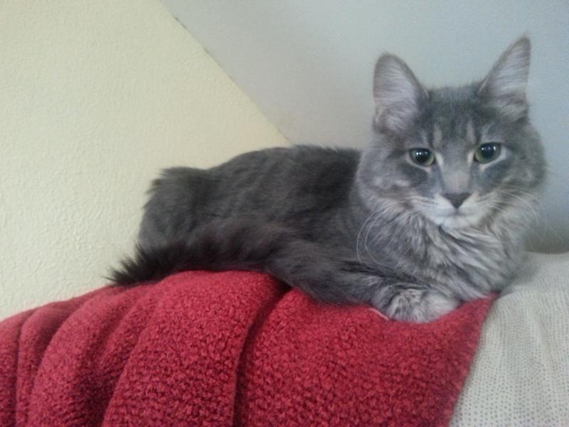 Meet Graycie A Petfinder Adoptable Domestic Medium Hair Cat Minneapolis Mn Graycie Is A Sweet Playful Little