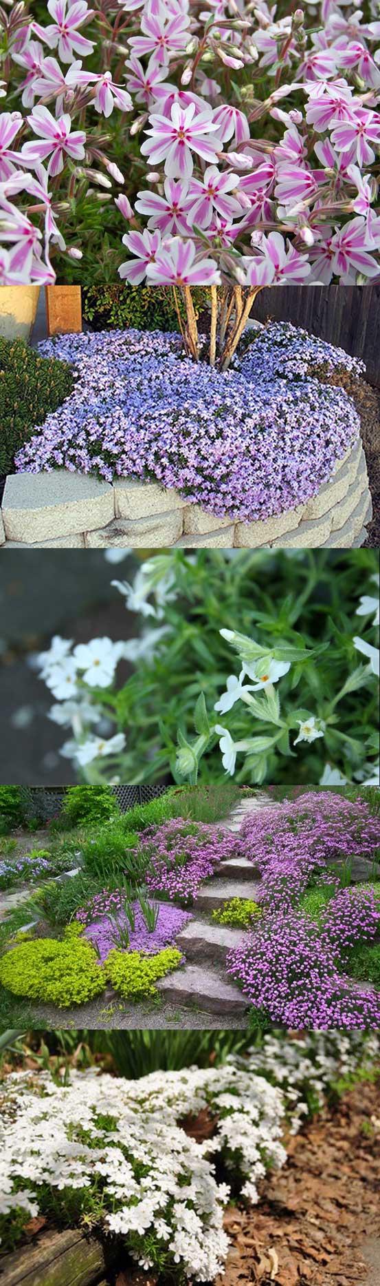 plante vivace couvre sol feuillage persistant floraison. Black Bedroom Furniture Sets. Home Design Ideas