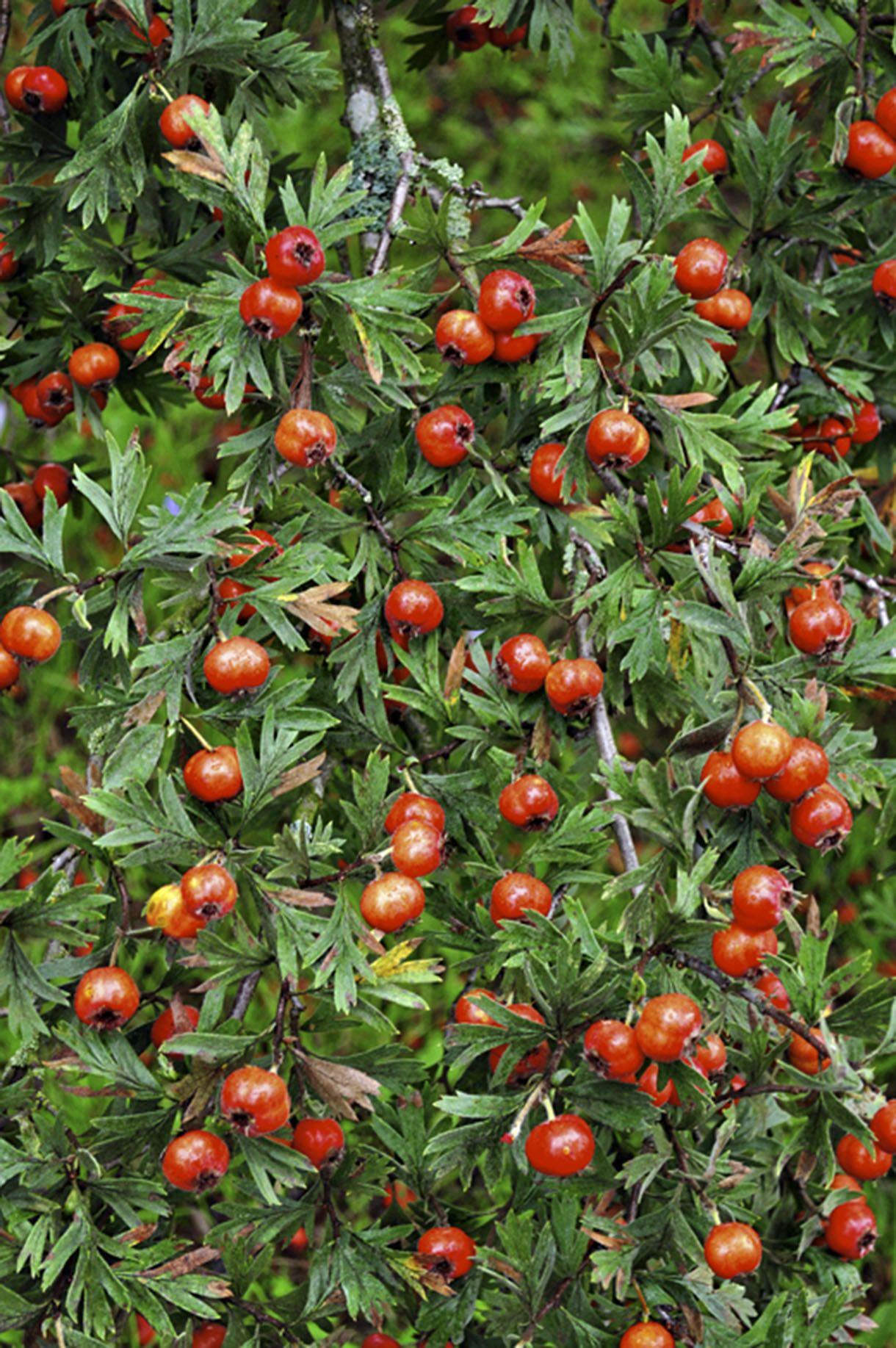 Plantez l'aubépine orientale en 2020 Arbuste, Arbres et