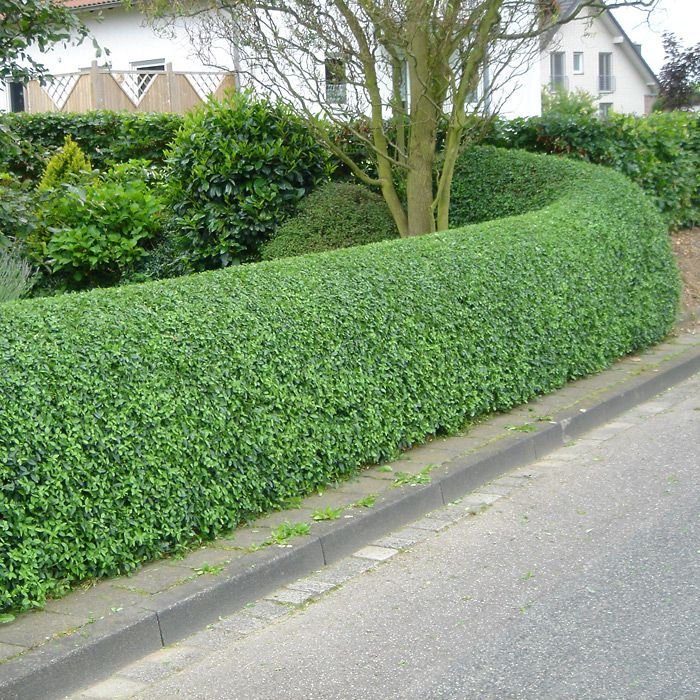 Mature privet hedge