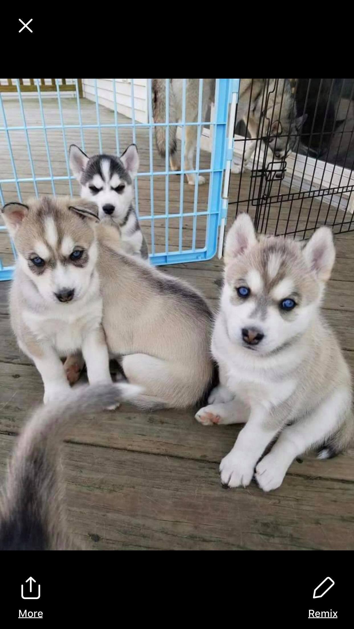 Siblings Husky Dogs Animals