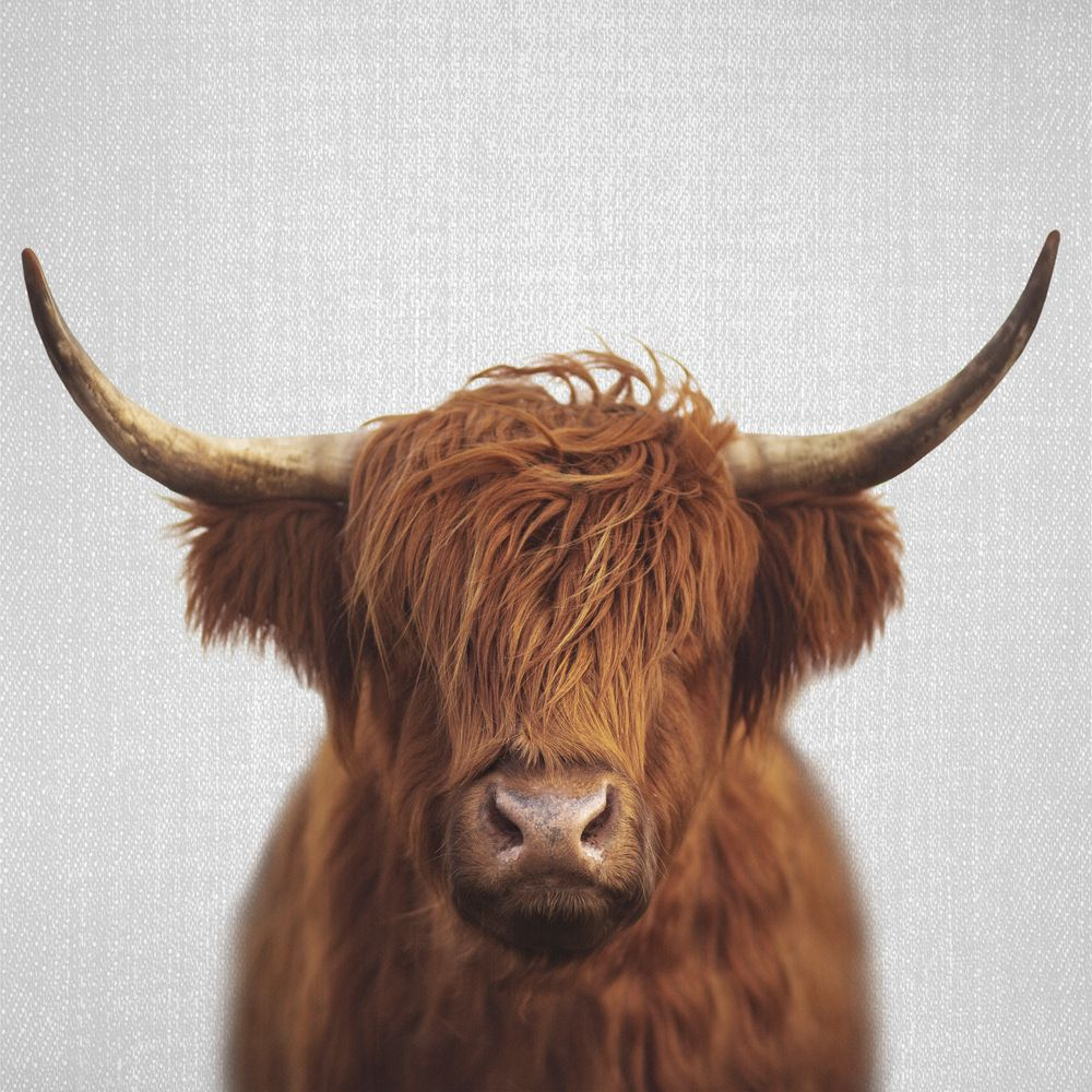 Highland Cow Colorful Throw Pillow By Gal Design Cover 16 X