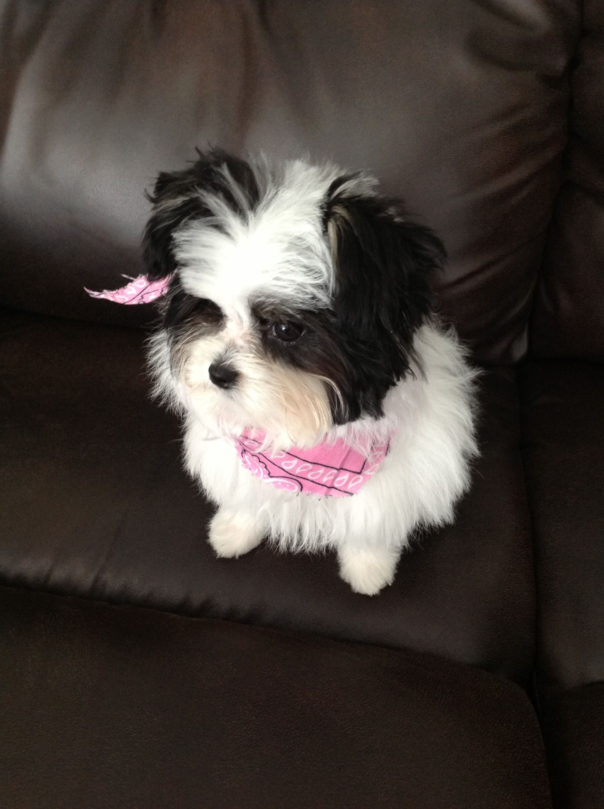 Papitese 4 Months This Is Boo Cute Puppies Puppies Papillon Mix