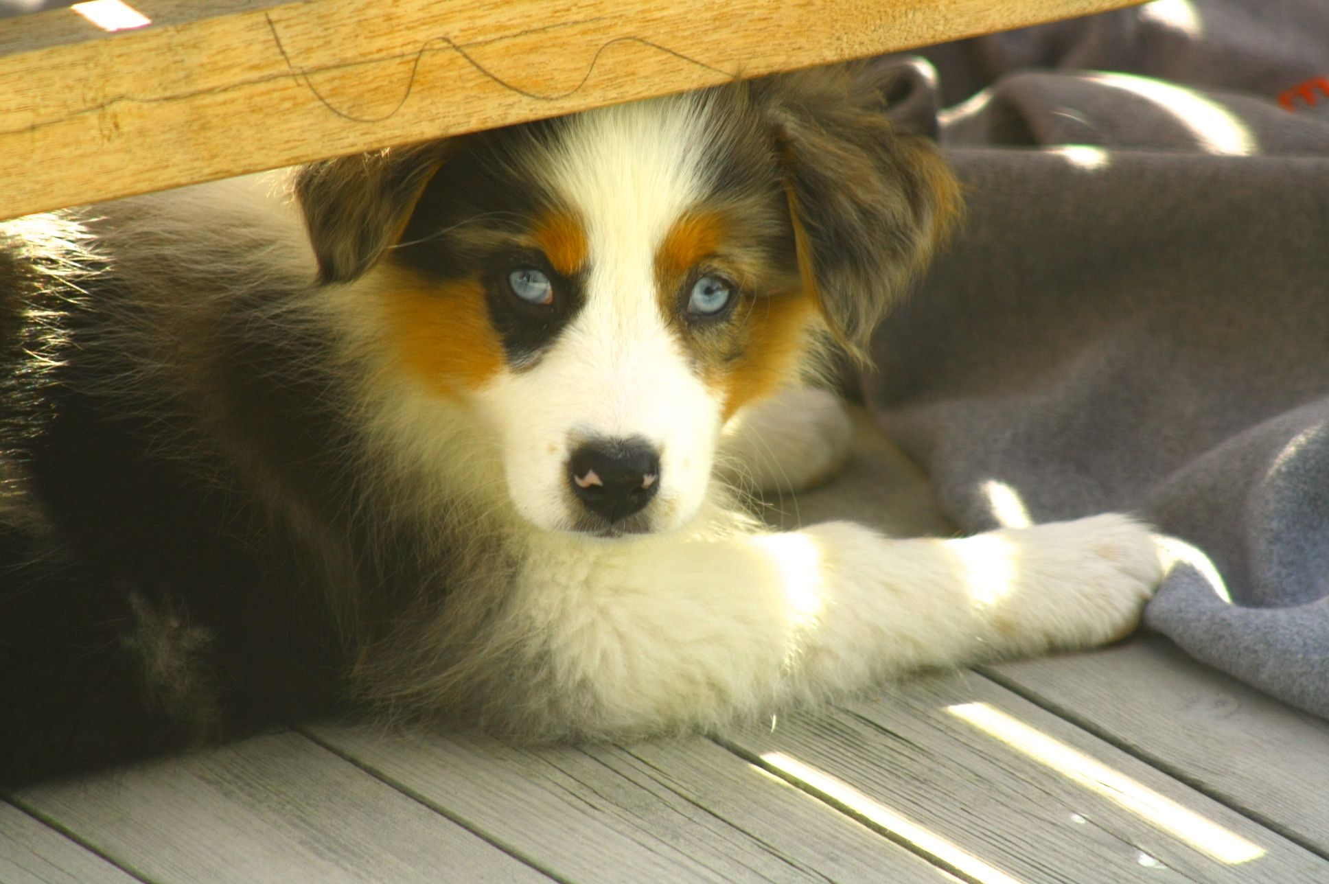 Australian Shepherd Puppy Lola Hiding From The Sun Australian Shepherd Puppy Shepherd Puppies Australian Shepherd