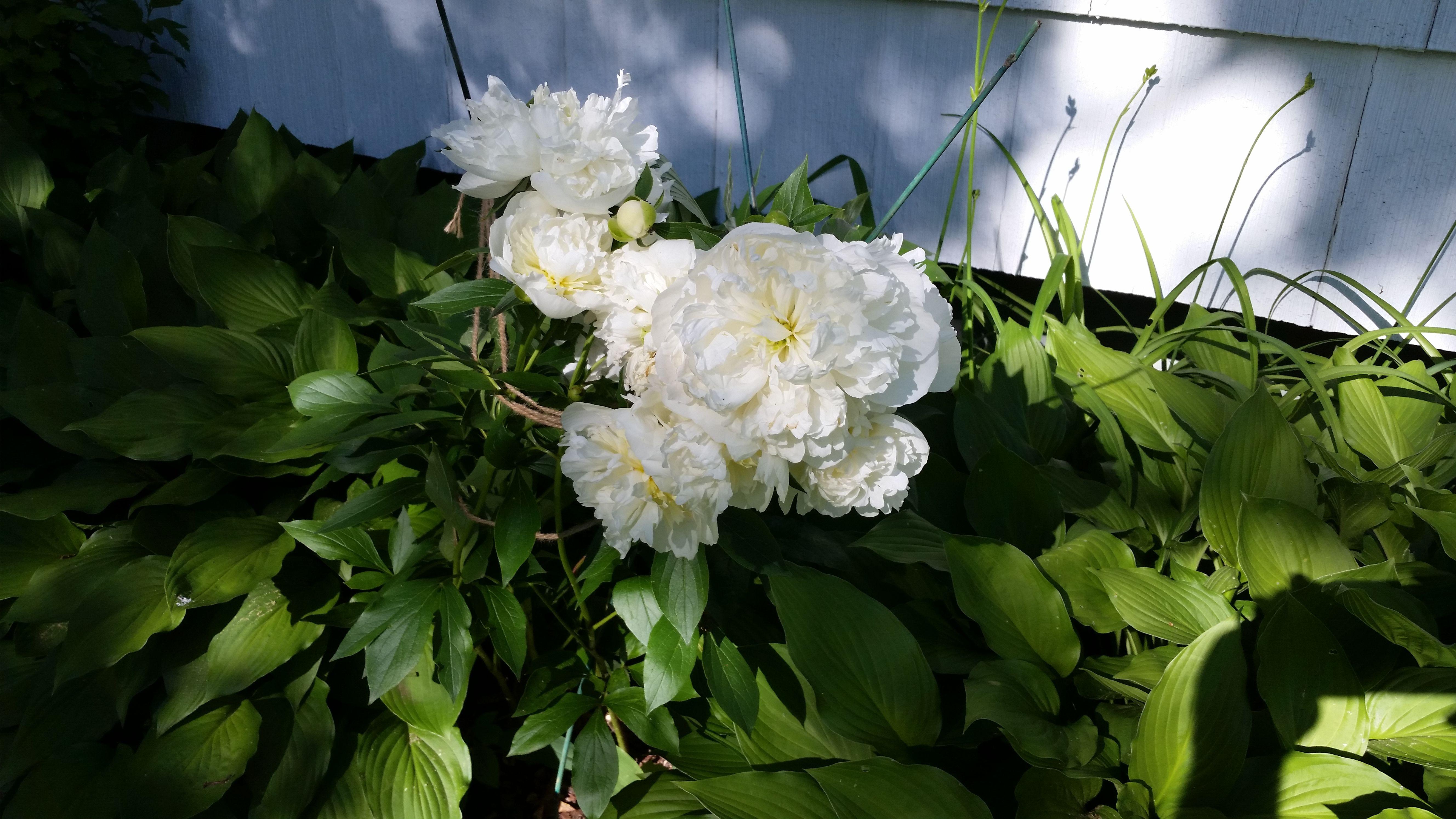 Peonies! #gardening #garden #DIY #home #flowers #roses #nature #landscaping #horticulture