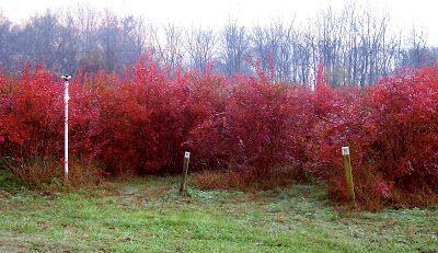 burning bush strauch # 90