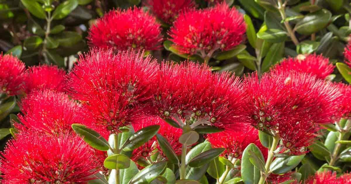 New Zealand Christmas Tree Metrosideros Growing Amp Care Pohutukawa Christmas Tree Growing Tree Tree