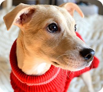 Madison, NJ Whippet/Terrier (Unknown Type, Small) Mix