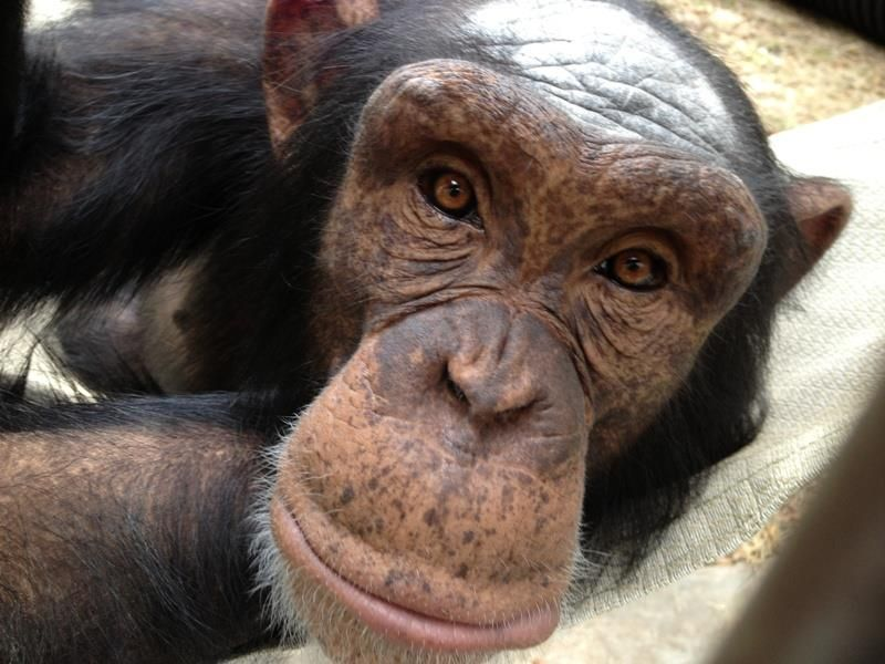 Mowgli @ Center for Great Apes