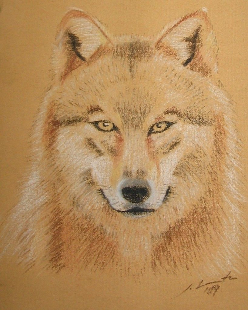 portrait - wolf - pastel on paper
