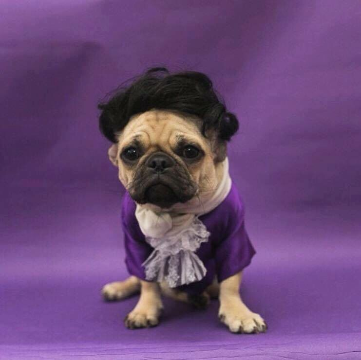 Even the pugs are all in with the prince tributes as seen on pug even the pugs are all in with the prince tributes as seen on pug thecheapjerseys Gallery