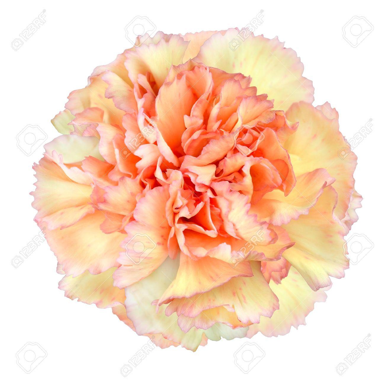 Pink Yellow Carnation Wallpaper Pinterest Carnations Flowers
