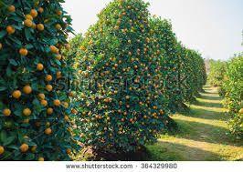 Resultado de imagen para vietnamese kumquat