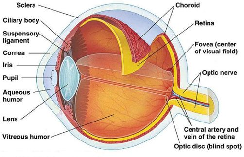 eyeball anatomy - Google Search | Anatomically Correct | Pinterest ...