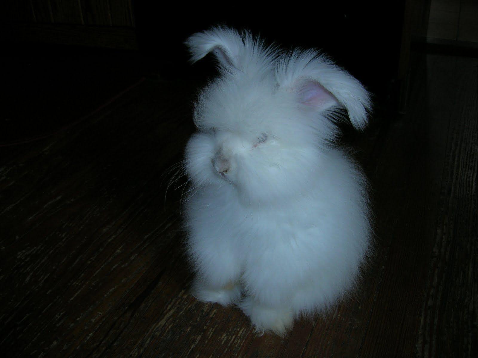 Angora Bunny.  ADORABLE!!!! It looks like a stuffed animal bunny!