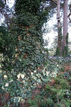 Ivy On Trees And As A Ground Cover Weed Rhs Gardening Growing