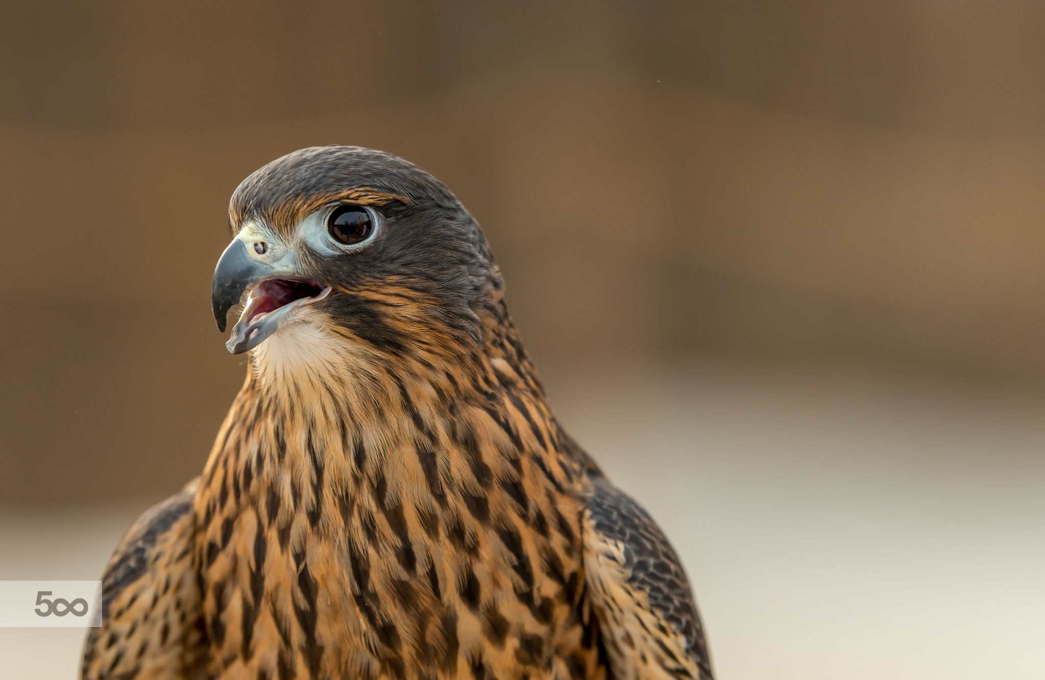 Photograph The Falcon by julian john on 500px