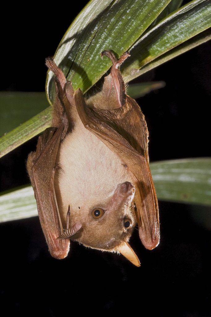Northern Blossom Bat, Macroglossus minimus, Australia ...