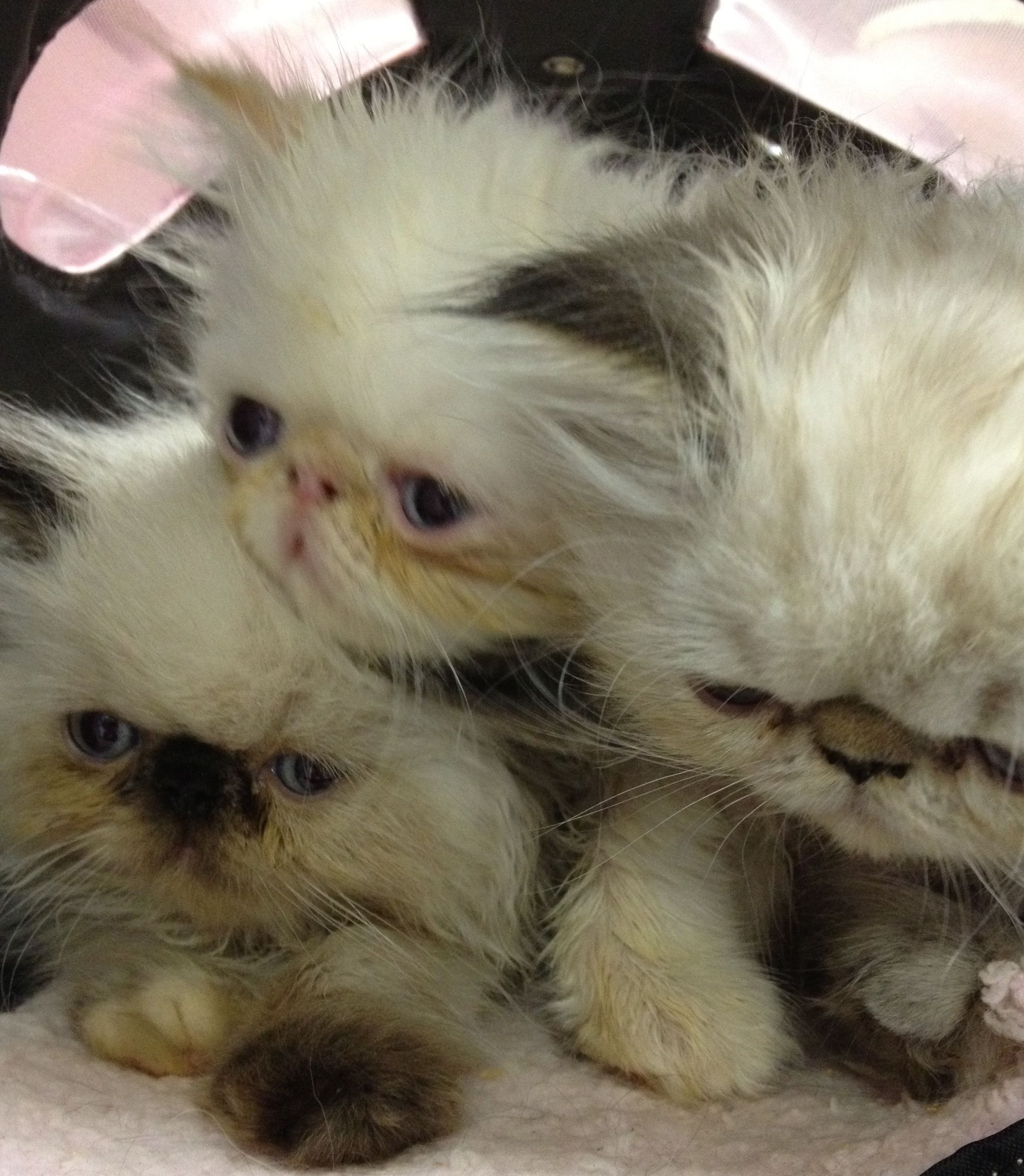 Himalayan Kittens First Check Up Himalayan kitten
