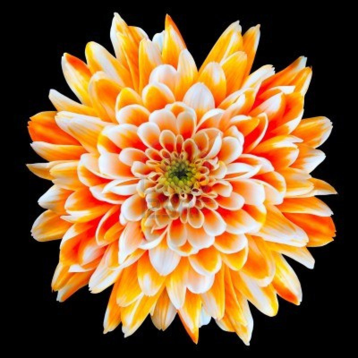 Single Orange And White Chrysanthemum Flower Isolated On Black Chrysanthemum Flower Birth Flower Tattoos Chrysanthemum Flower Pictures