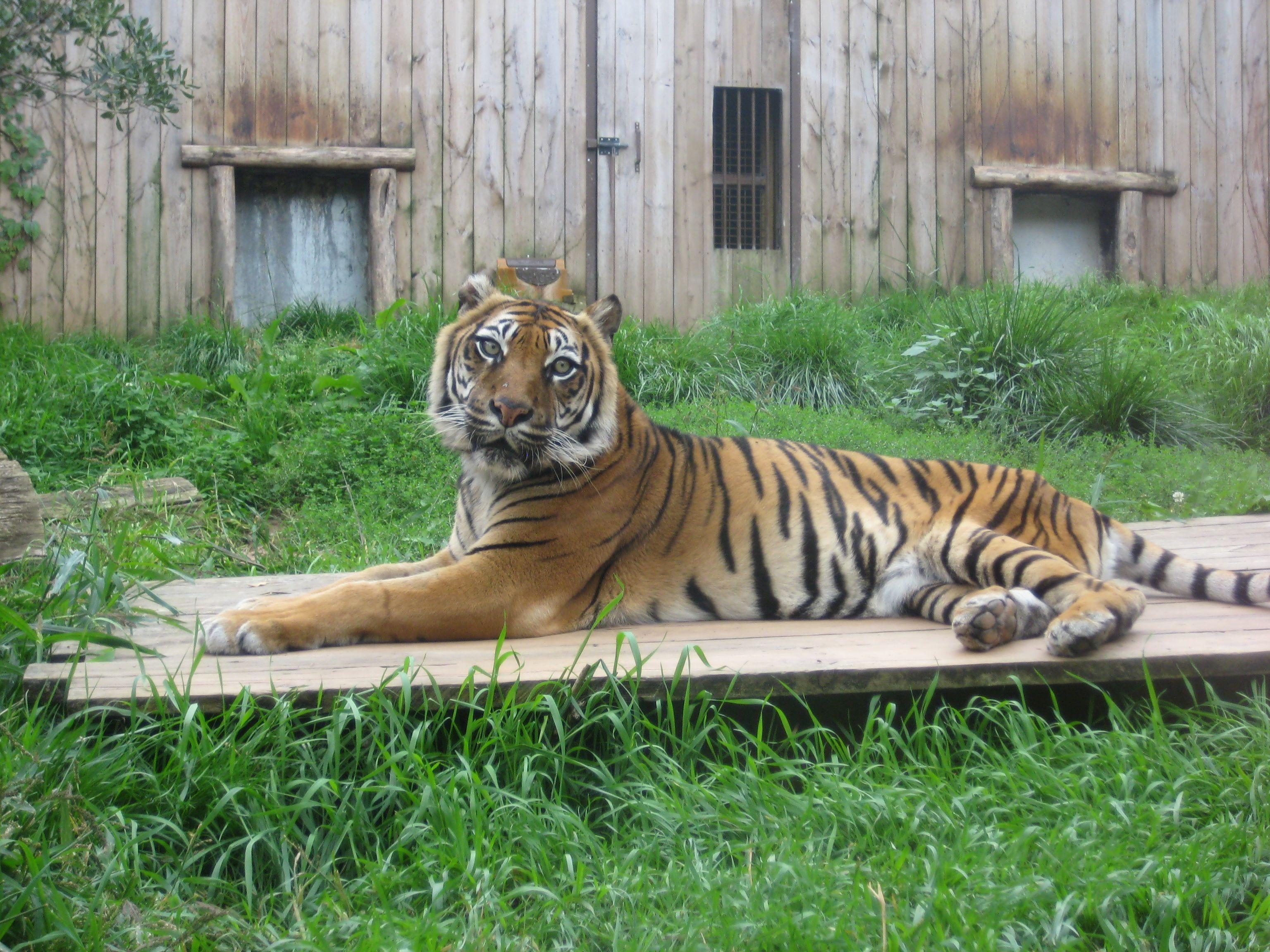 tigre au zoo d'Amnéville(Lorraine)