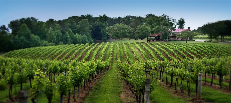 Yadkin Valley Vineyards, North Carolina