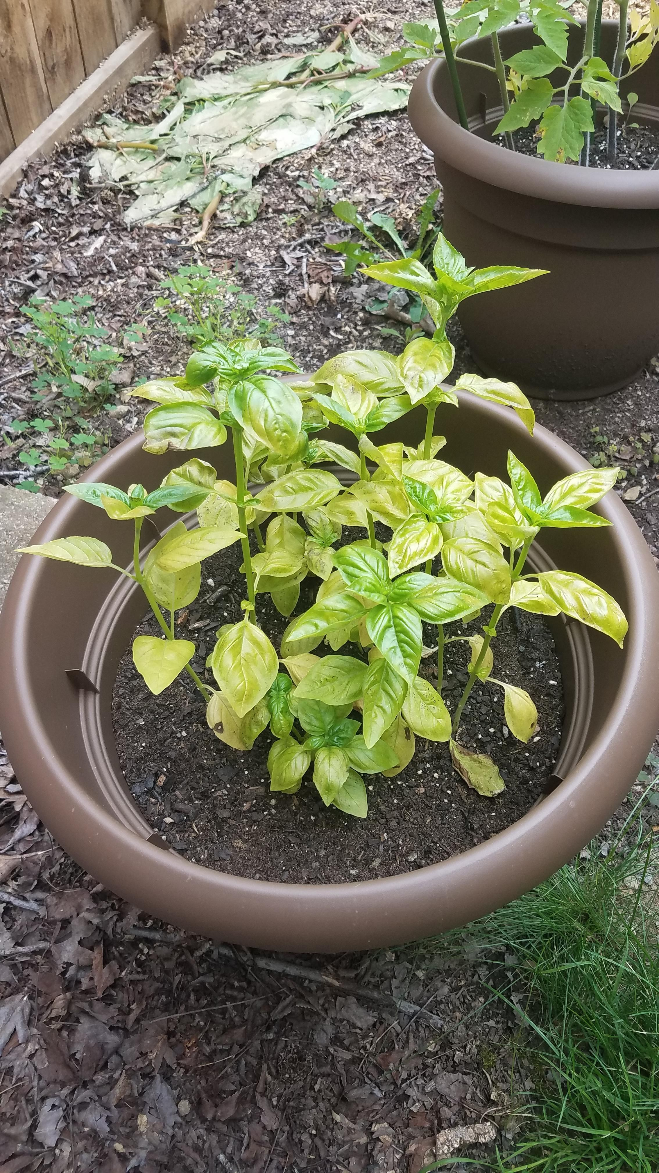 First Time Gardener Looks Like My Basil Is Going Bad! #gardening .