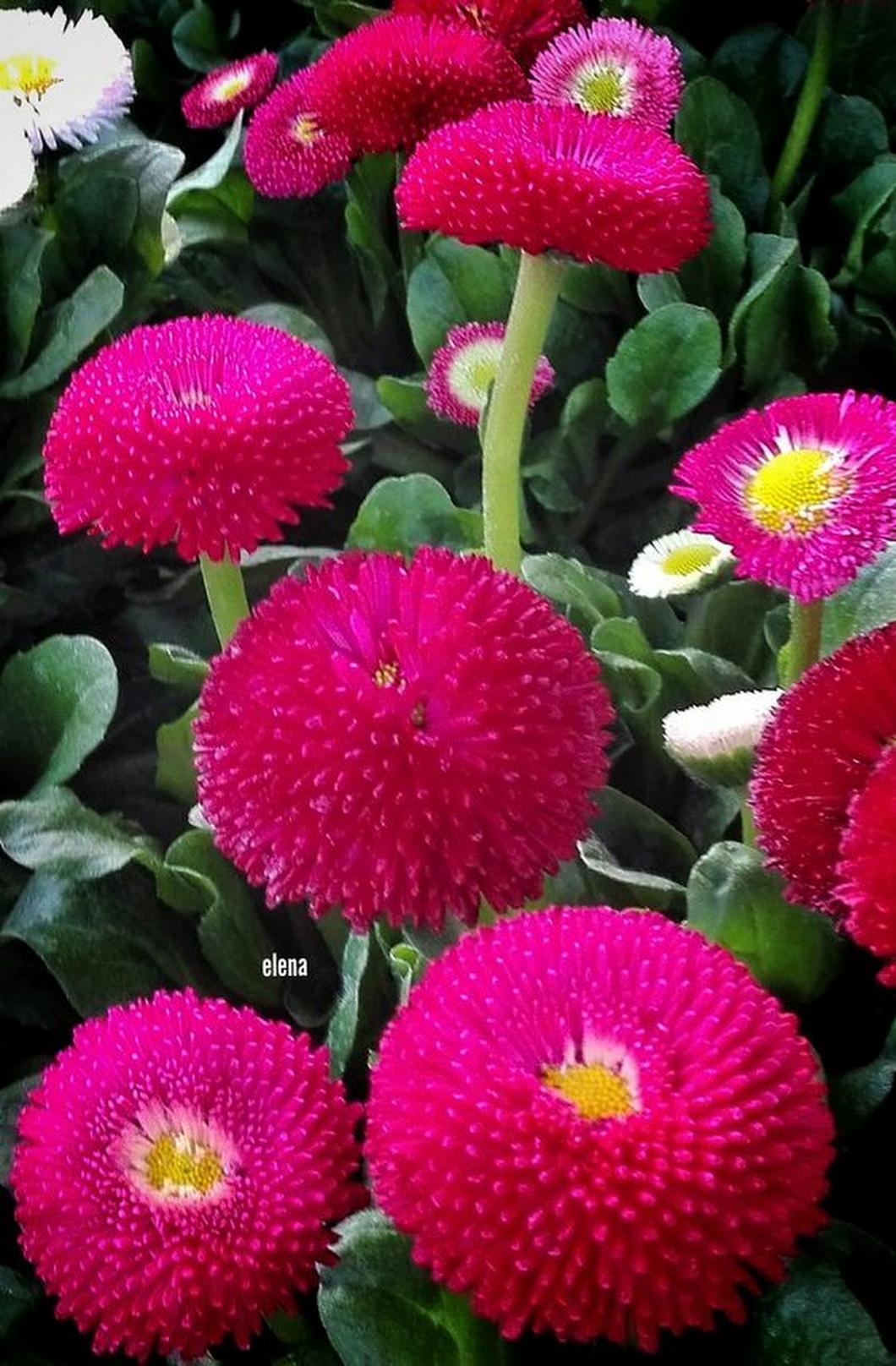 Red english daisy flowers pinterest flowers red english daisy izmirmasajfo
