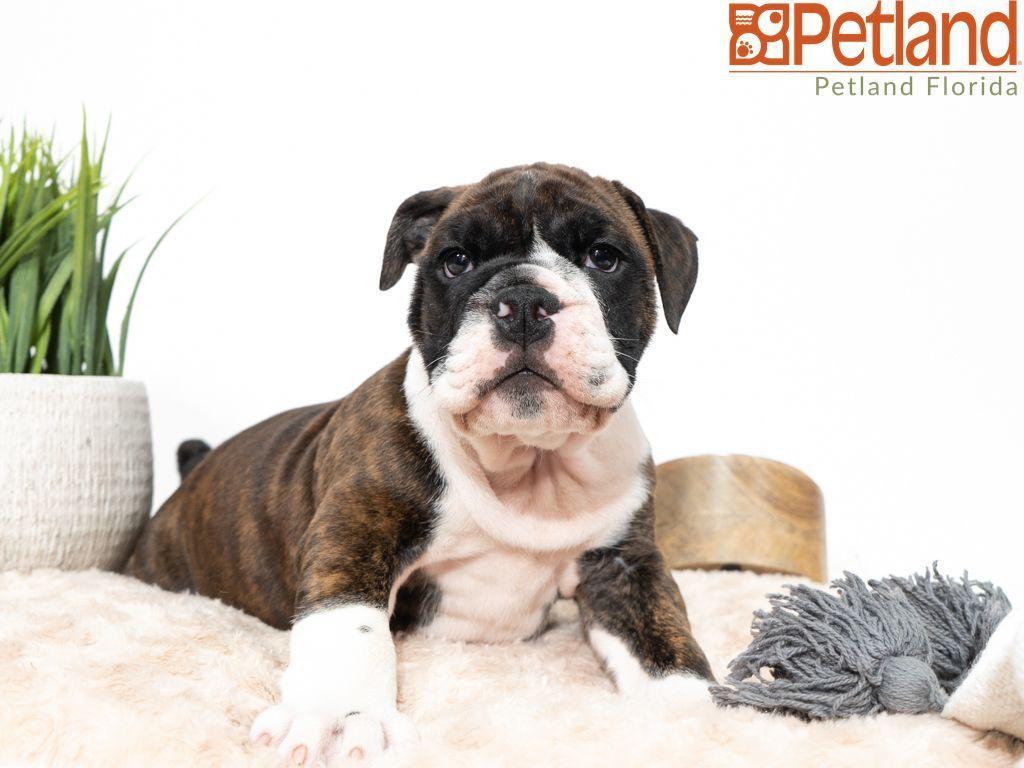 Puppies For Sale Bulldog Puppies For Sale Victorian Bulldog