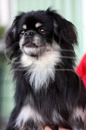 Tibetan Spaniel Looks Like Our Baby Olive Tibetan Spaniel Spaniel Puppies Dog Breeds