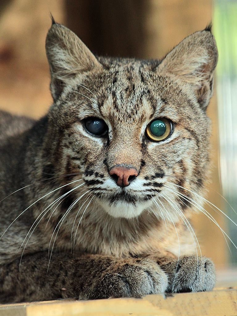 Pin by Diana Breuer on Lion's share Pets, Cat adoption