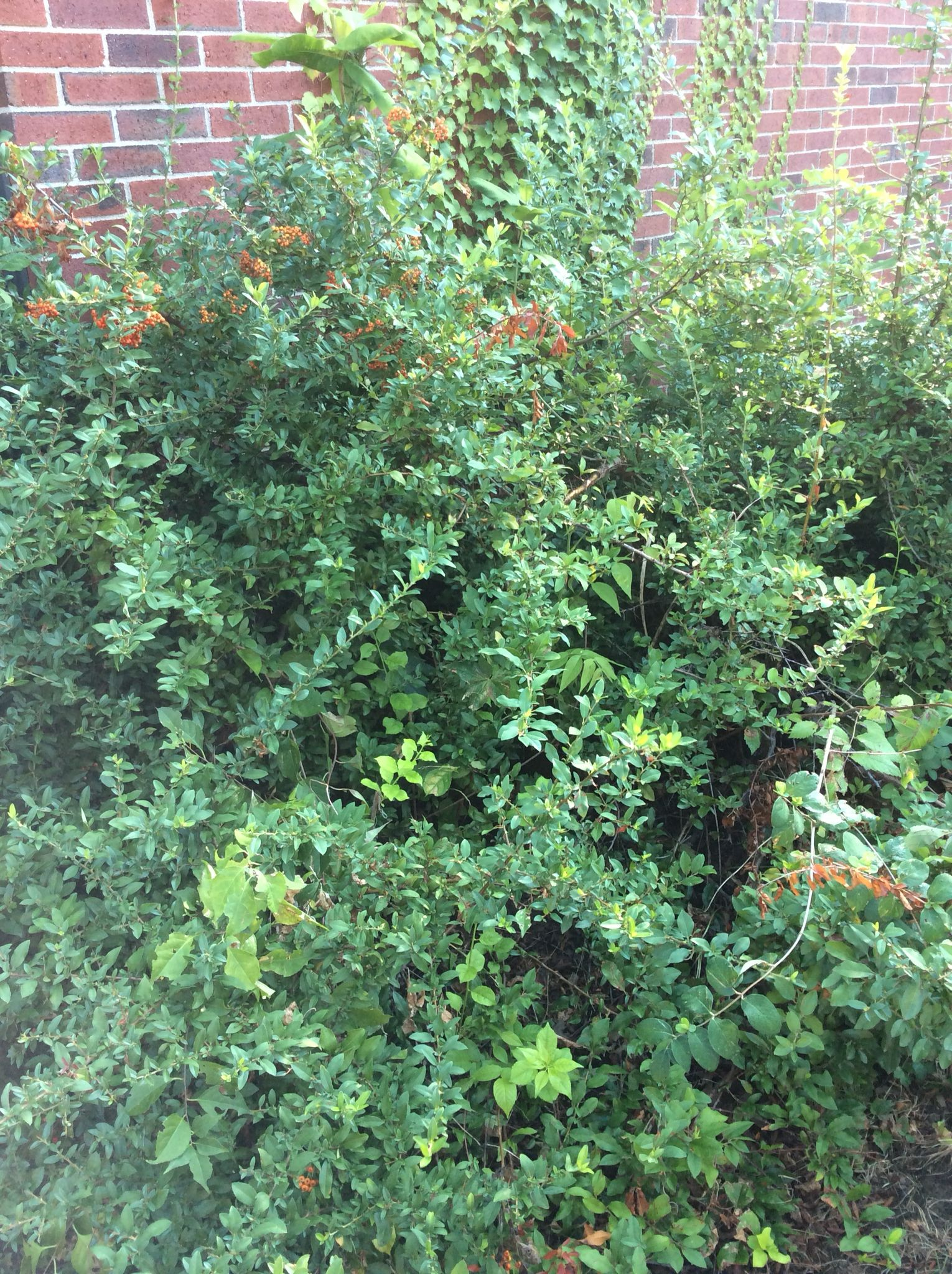 Fire Thorn Pyracantha 3 20ft Tall And 6 15ft Spread Low Watering