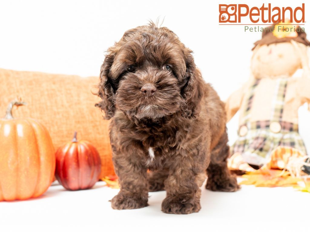 Puppies For Sale Cockapoo puppies, Cockapoo puppies for