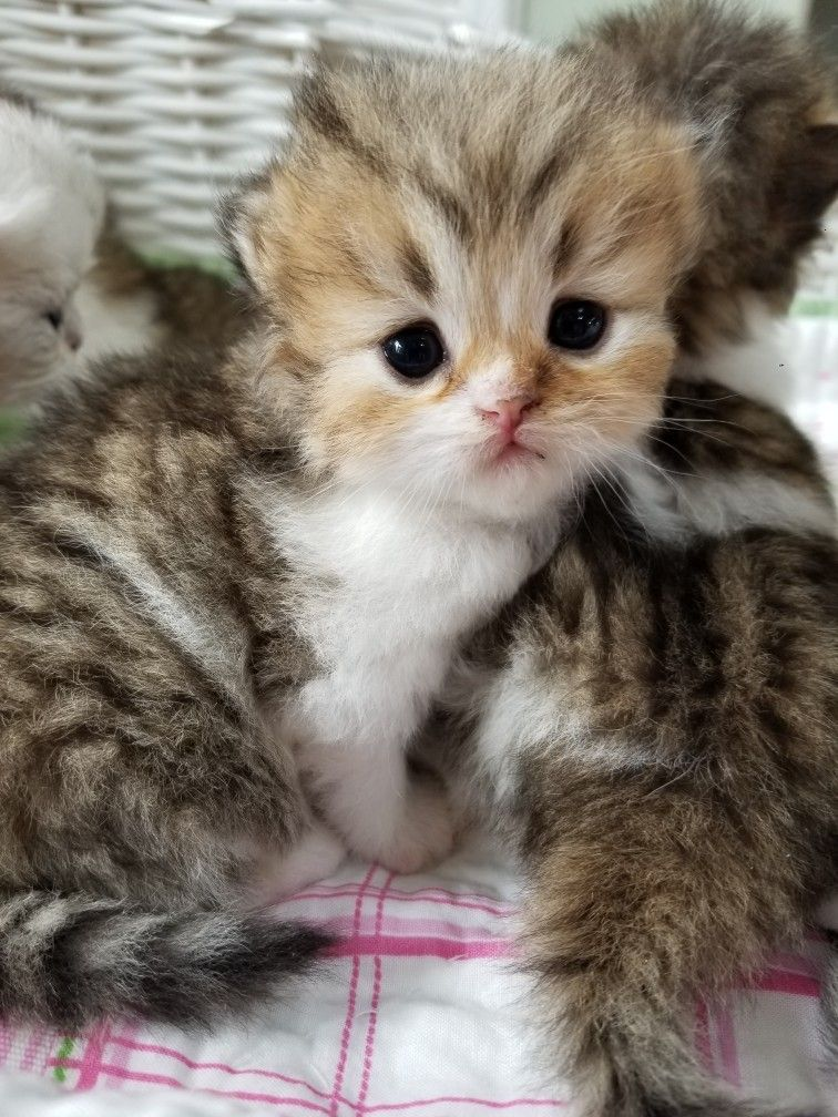 Teacup kitten Teacup kitten, Teacup kittens for sale