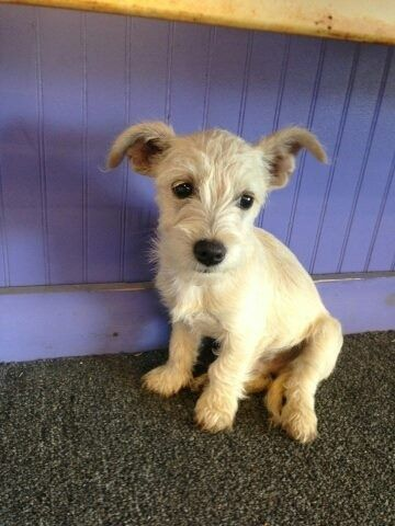 Found Yellow Male Schnauzer Mix Puppy By Okc Lost Pets On May 26