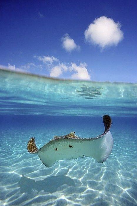wolverxne: Underwater stingray - by: (M Swiet)