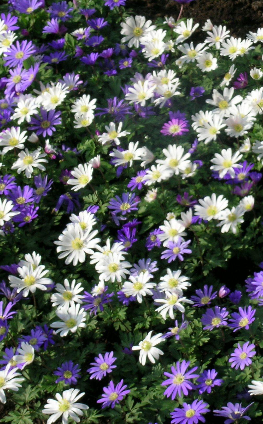 Fleur De Sous Bois Bleue anémones blanda variées   anémone, fleurs bleues, fleurs