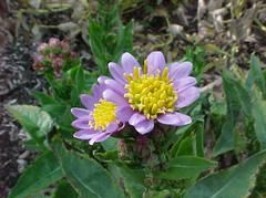 Aster tataricus 'Jindai' - Plant Finder