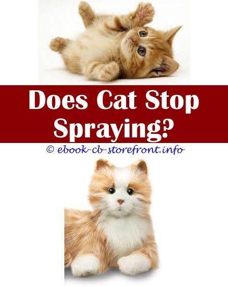 Ridiculous Tricks Lysol Spray Safe Around Cats Cat Deterrent