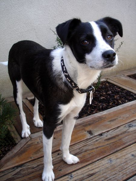 terrier collie mix