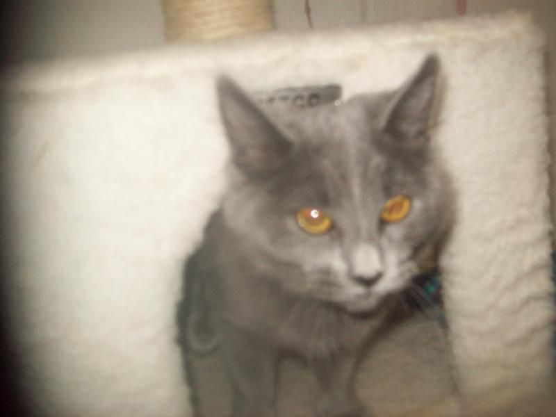 Adopt Lady On Cat Adoption Russian Blue Cat