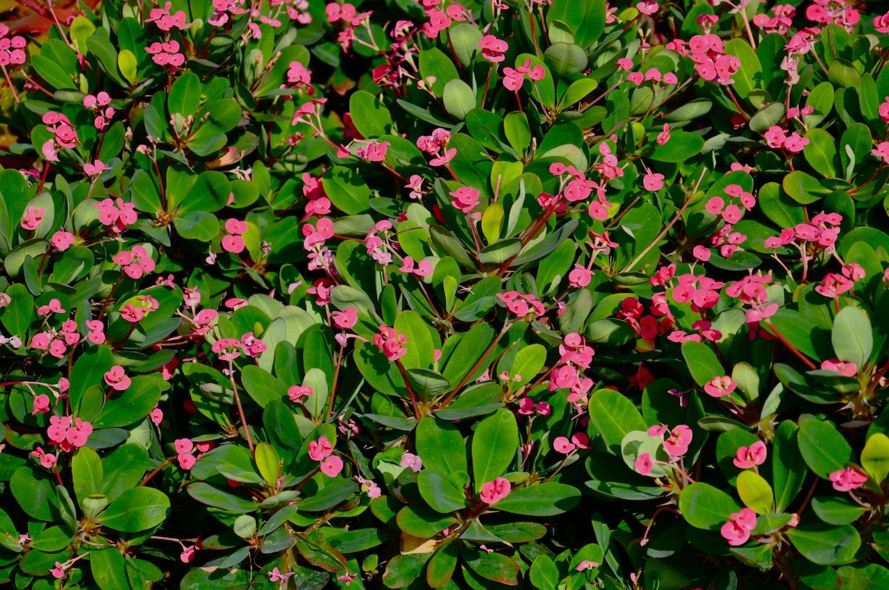 Orange County Succulents | Euphorbia Dwarf Milii