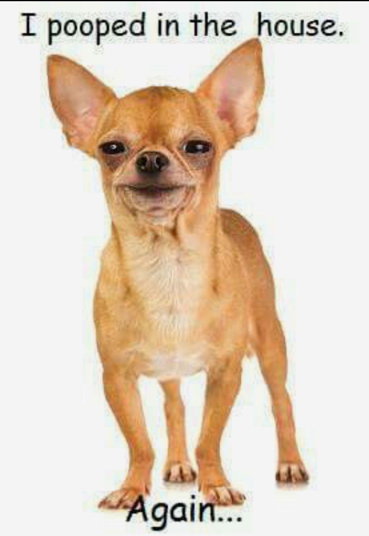 Lol This Is So My Dog Chihuahua Love Chihuahua Dogs Chihuahua