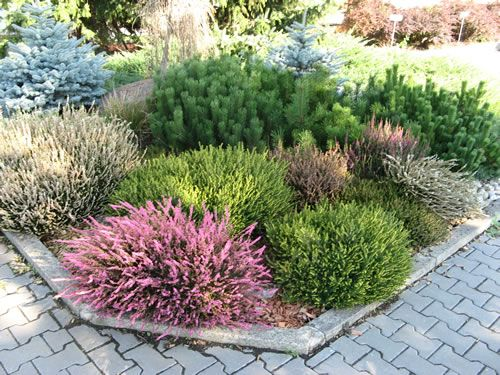 for Hardy low maintenance shrubs