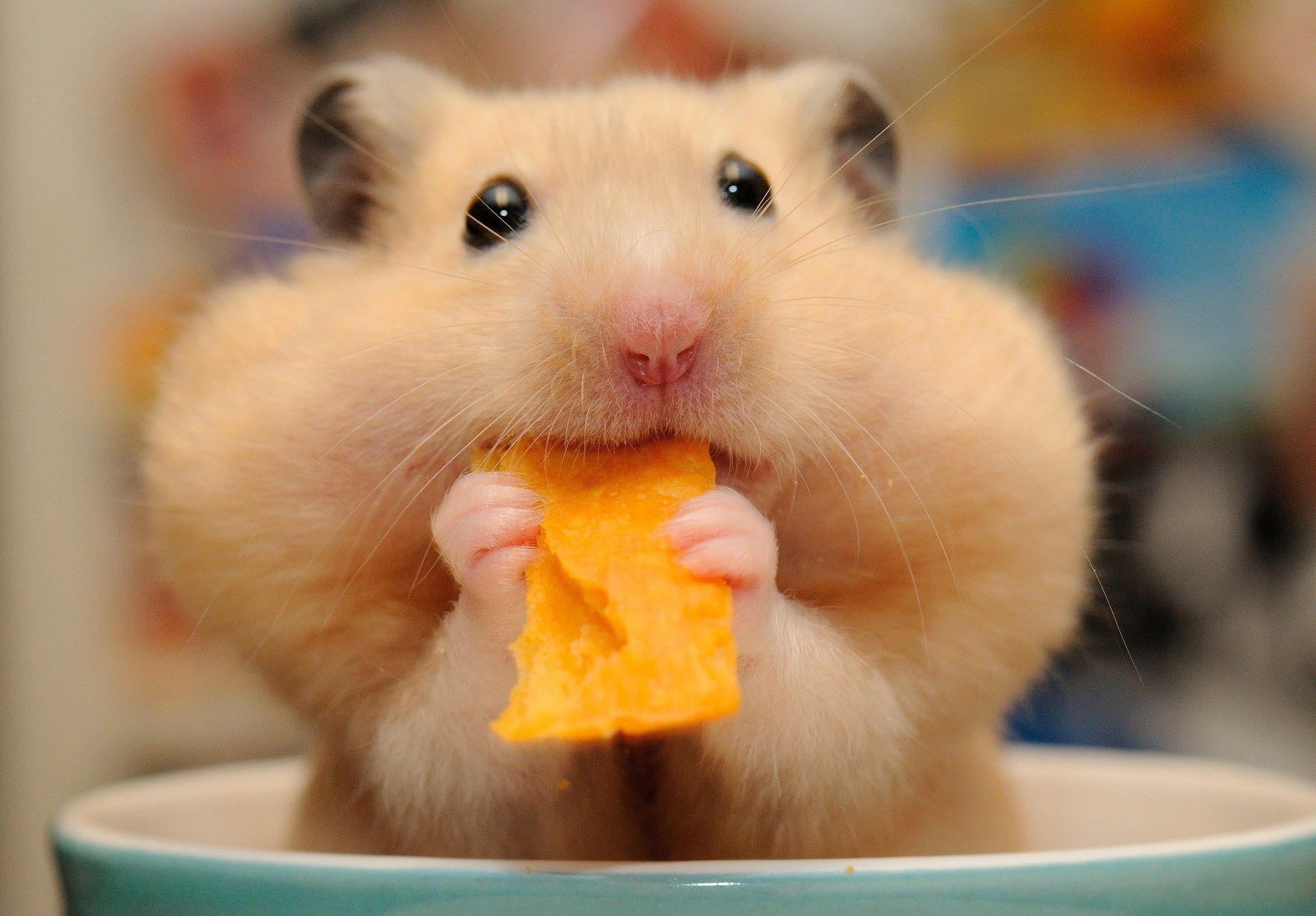 Hamster 1080p Wallpaper Hdwallpaper Desktop Cute Hamsters Funny Hamsters Cute Baby Animals