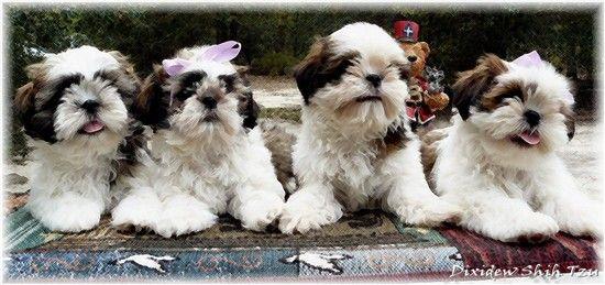 Shih Tzu Puppies For Sale In Georgia Florida Alabama By Shih Tzu Breeder Dixidew Shih Tzu Puppies Shih Tzu Puppy Shorkie Puppies Shih Tzu Breeders