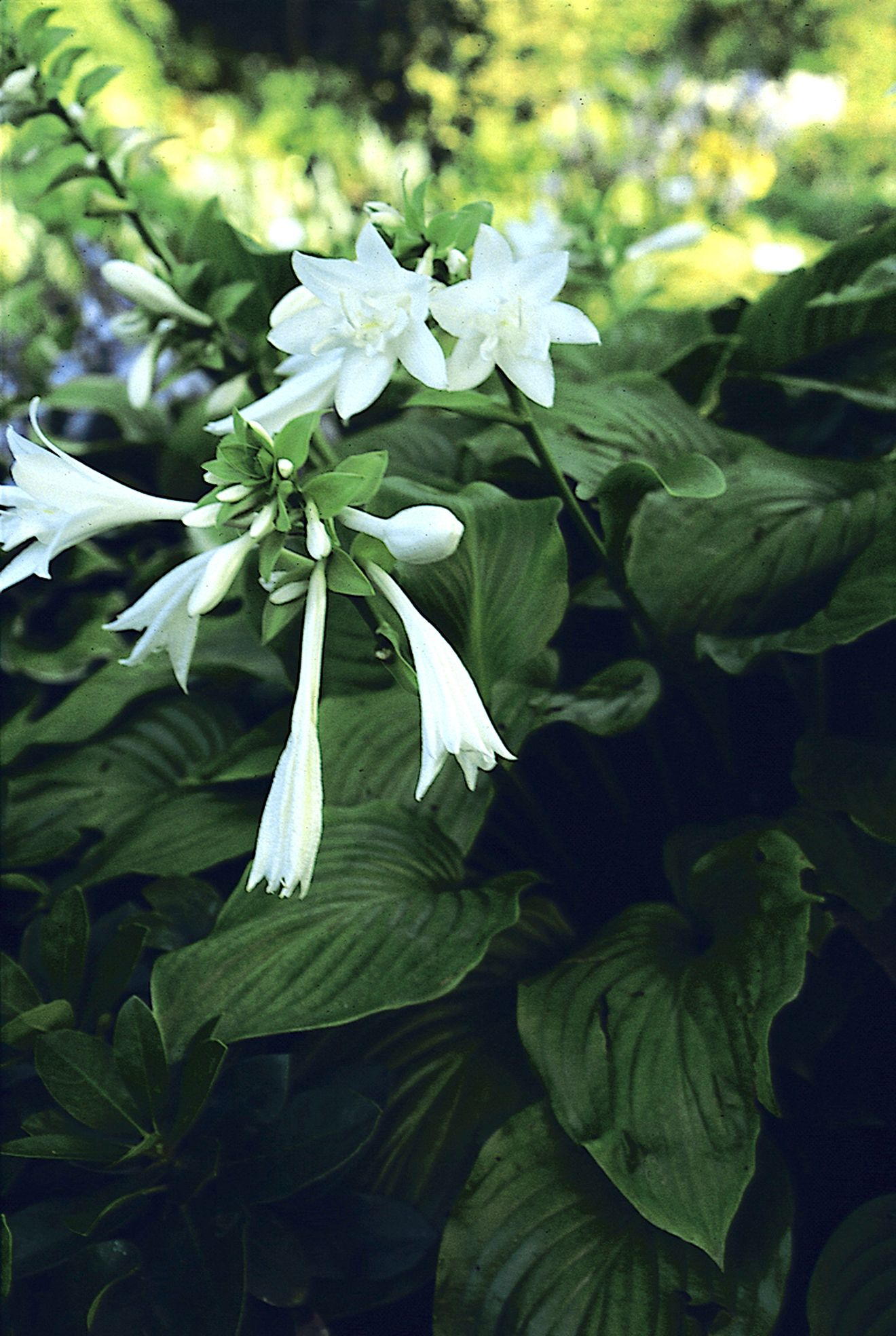 Aphrodite This Hosta Is Named After The Greek Goddess Of Love And