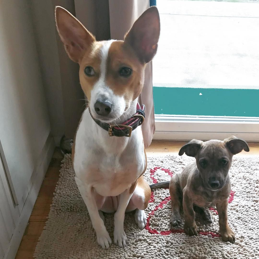 This is my basenji sister zola i love her and try to bark at her